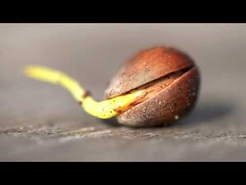 Driv Upp Träd Från Ekollon , Kastanj , Hasselnöt ! Odla Ekollon I Vas - Odla Eget Miniatyrträd I Vas