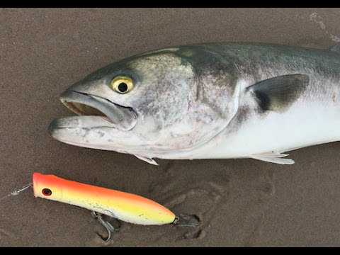 Surf Fishing Scrappy Jersey Bluefish