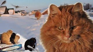 #Koshlandia, Siberian Farm cats , Winter , Зима, 2019 Кошки