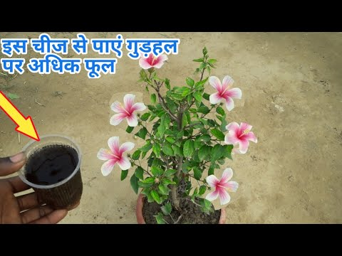 सर्दियों के सीजन में गुड़हल के पौधे से ज्यादा फूल पाने का सीक्रेट