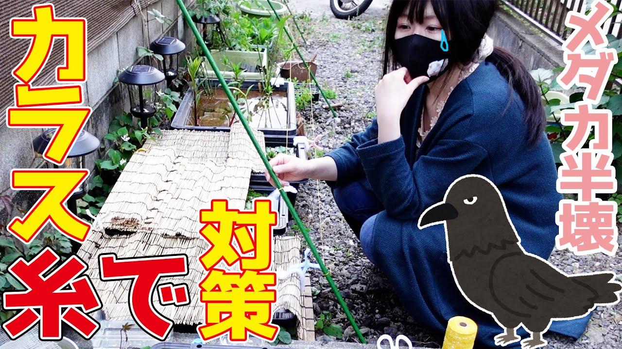 【アクアリウム】メダカ壊滅😢カラス対策は黄色い水糸がオススメです!【畑・家庭菜園・ビオトープ】