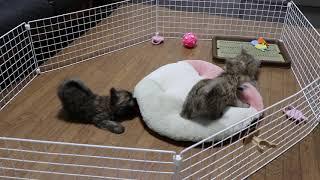 ワイズプリティーで産まれたケアーンテリアの子犬たち 元気いっぱいで遊...