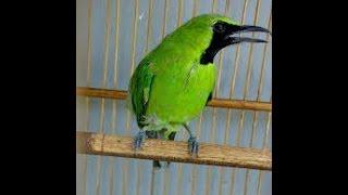 Perawatan Khusus Untuk Burung Cucak Ijo Mabung Rontok Bulu
