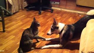 Кошка с собакой дерутся