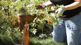 How to Grow Watermelon in the Backyard : Garden Space