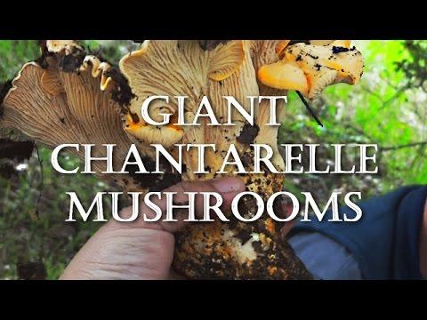 Foraging California Chantarelles | Mushroom Hunting And Gathering