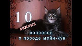 10 важных ВОПРОСОВ о породе мейн-кун / питомник мейн-кунов  Лирикум