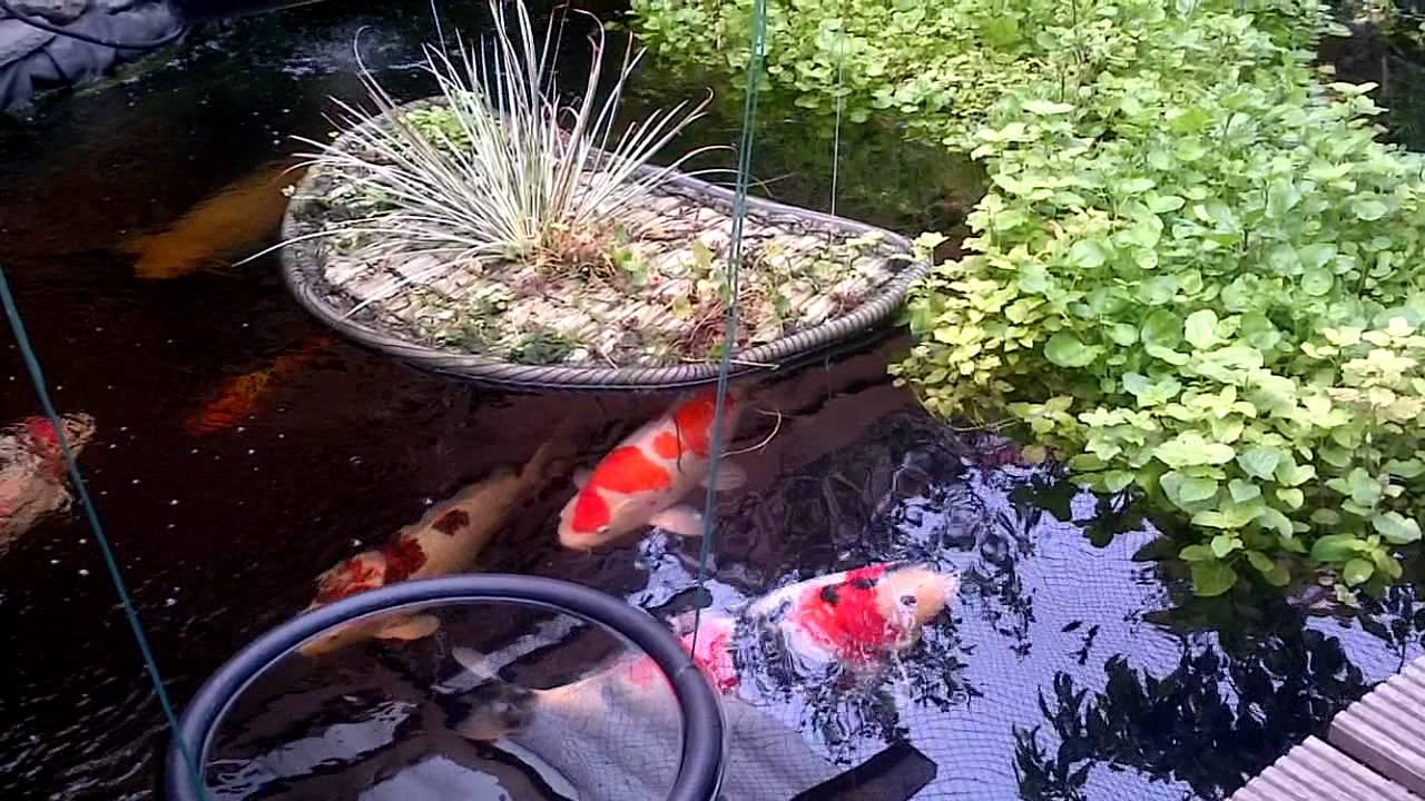 Koi pond with watercress youtube for Koi pond videos