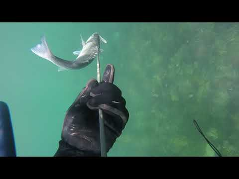 Spearfishing Swanpool,  Falmouth , Cornwall 2019