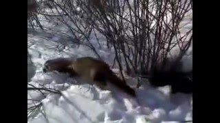 Хорьки на прогулке зимой/Ferret winter stroll