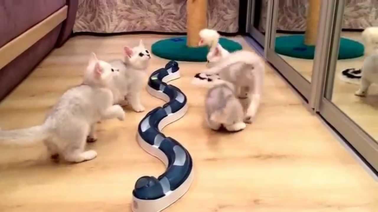 Plush Kiss - питомник британских кошек на Украине - YouTube