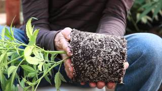 Grow Cannabis – Transplanting Lucid Dream into a SmartPot – by Jorge Cervantes