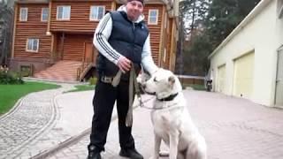 Туркмен Кала Егенчи, начальная дрессировка взрослой собаки.
