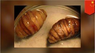 Mężczyzna nieświadomie przywiózł 20 larw z Afryki do Chin we własnym ciele