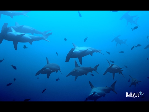 Red Sea Sharks - Daedalus Reef