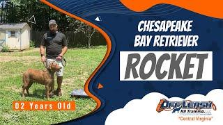 2 YO Chesapeake Bay Retriever | Rocket | Best Virginia Dog Trainers | RVA
