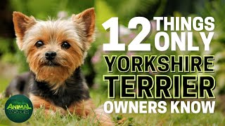 12 Things Only Yorkshire Terrier Dog Owners Understand