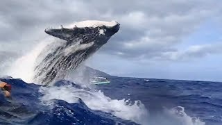 Spectacular clip shows whale breaching right next to snorkelers