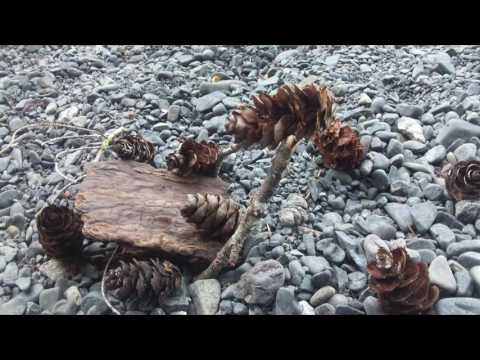 Pine Cone Narrative