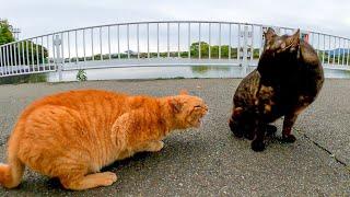 撫でられている時に割り込んできた猫に唸る茶トラ猫