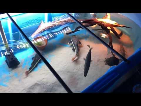 300 Gallon PREDATOR FISH Feeding ((MUST WATCH))