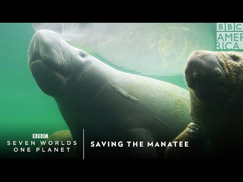 Saving The Manatee | Seven Worlds, One Planet | Saturdays at 9pm | BBC America