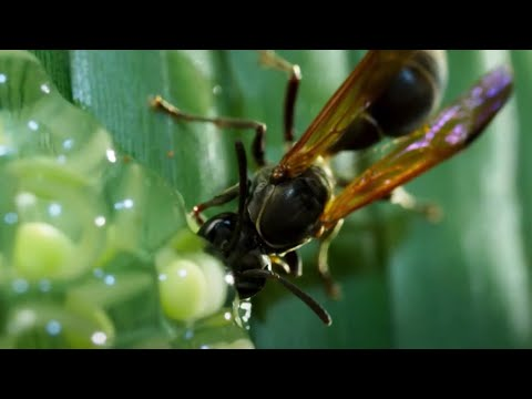 Frog Defends Eggs From Wasps | Planet Earth II | BBC Earth