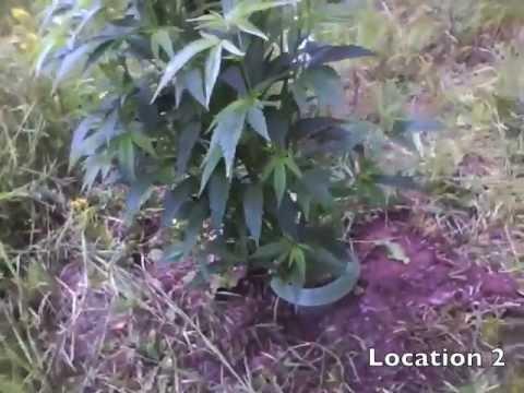 Fourth Outdoor Grow: Frisian Dew & Durban Poison, Vorbereitung + Eindrücke bis Mitte Juli