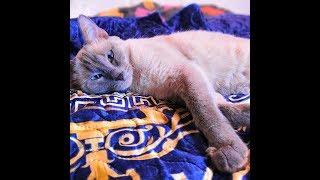 Вязка кошки. Начало новой жизни! Первая Вязка тайской кошки. Получатся ли котят?