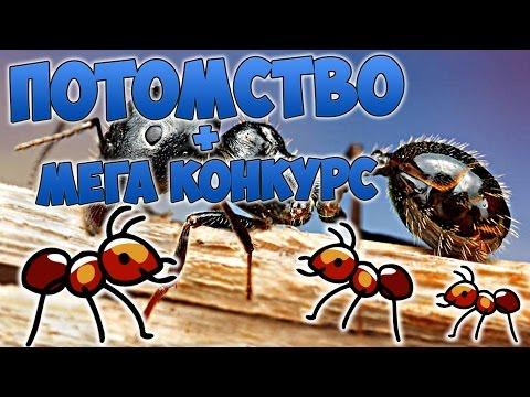 ДОМАШНИЕ МУРАВЬИ СЪЕЛИ КОМАРА   Жизнь и уход за муравьями