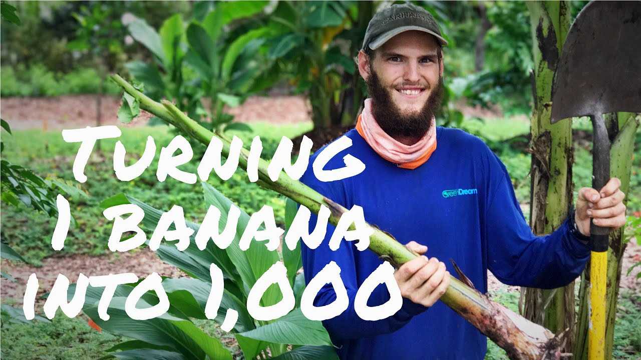 How To Propagate Bananas Digging Up Pups For Future Plants