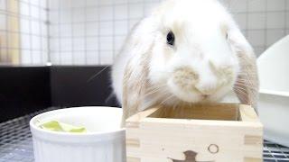 (ウサギの赤ちゃん)キャベツを食べるウサギ ホーランドロップイヤー