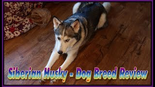 Siberian Husky  Dog Breed Review