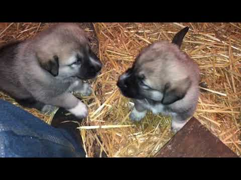 Five minutes of fun with Kangal Akbash puppies
