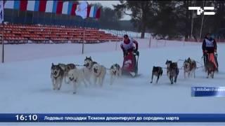 Тюменская упряжка ездовых собак стала  самой быстрой