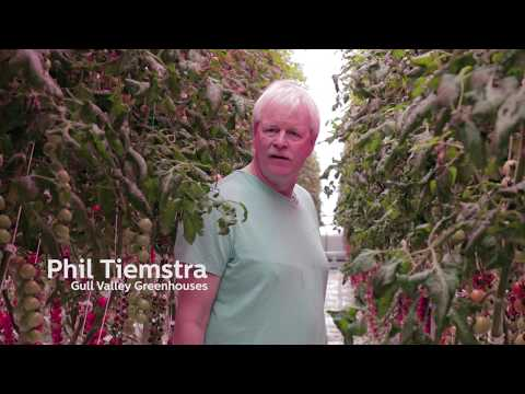 Alberta grower harvests tomatoes through winter with Philips LED grow lights