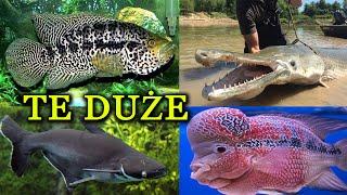 WIELKIE RYBY Akwariowe 🦈 Wymagające Dużego Akwarium