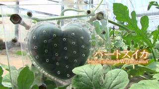 スイカがハートの形!? Kawaii! Heart-shaped Watermelon