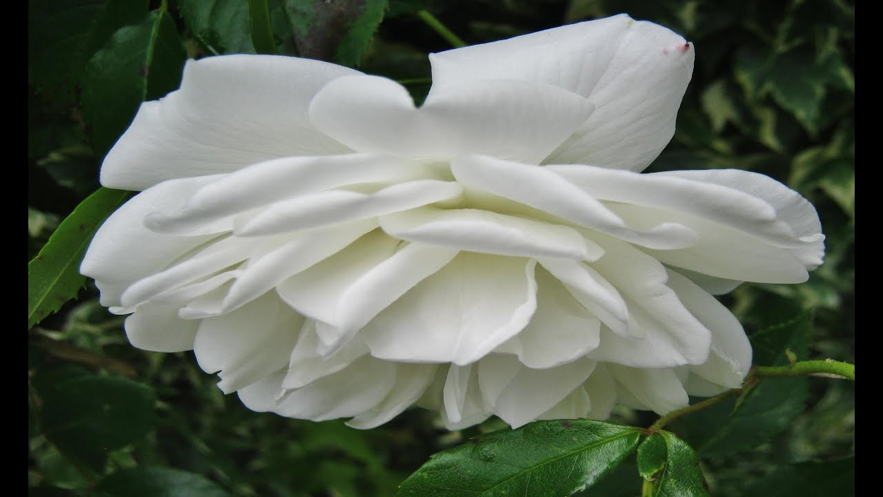 White Colour Flowers Youtube