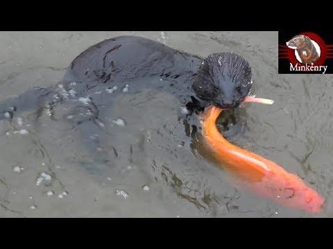 Mamba Catches A GIANT Goldfish! | Episode 11- Black Mamba: Born To Hunt
