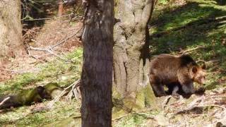 Niedźwiadki w Bieszczadach