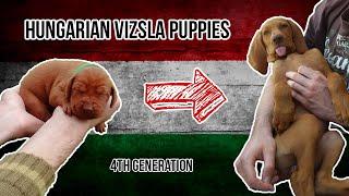Hungarian Vizsla Puppies #1 (Weeks 18)