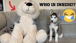Kid Hides Inside Husky Teddy To Prank My Husky Puppy! [PRANK!] [TRY NOT TO LAUGH!]