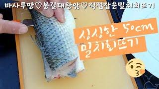 [바사투망]직접 잡은 기름기 좔좔 50cm 밀치(가숭어) 회뜨기