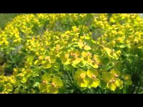 Молочай полевой.  Лекарственные травы