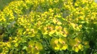 видео Растение алтей лекарственный: фото корней и травы, свойства и применение