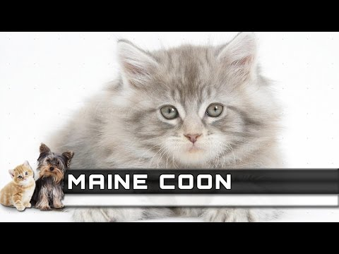 🐈 MAINE COON Cat Breed - Overview, Facts, Traits and Price