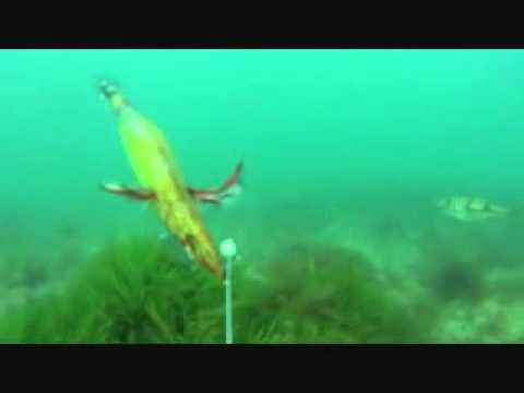 underwater squid cam at st kilda south australia.