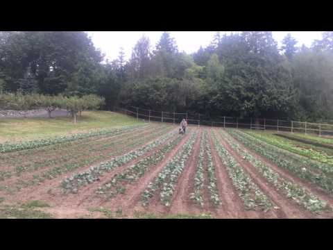 Finger weeding cole crops time lapse