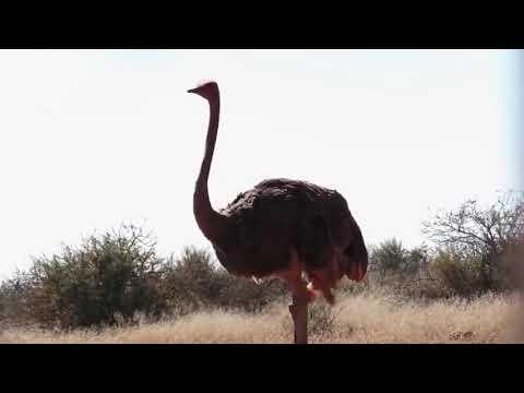 Leopard Vs Ostrich|